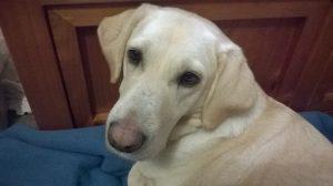 Labrador dog looking over her shoulder at the camera